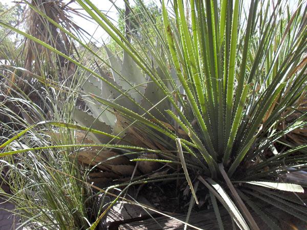 Texas Cacti