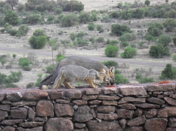 A pair of Gray Foxes in Jimi's garden. Similar to our Red Foxes in Europe